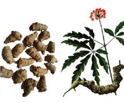 cây tam thất bắc dùng để chữa bệnh gì