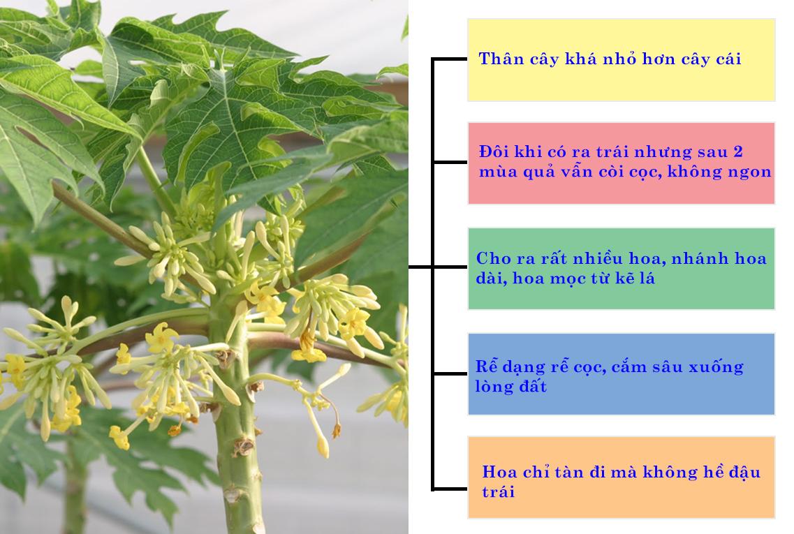Hoa Đu Đủ Đực