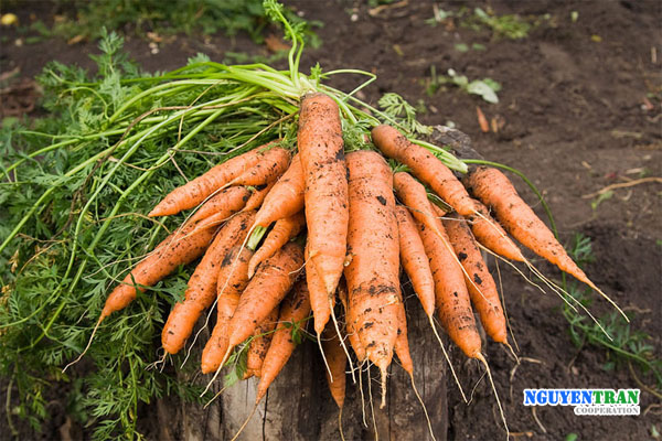 Giải độc cơ thể với cà rốt