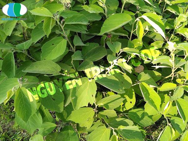cây an xoa điều trị bênh gan